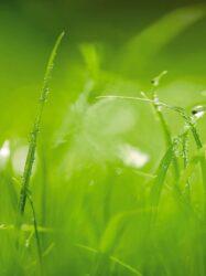 Makroaufnahme saftig-grüner Grashalme mit glitzernden Tautropfen